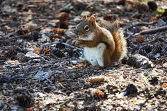 Squirrel looking for food. Small squirrel looking for food in forest royalty free stock image