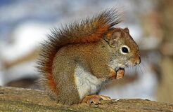 Small Squirrel Standing on Brown Wood Stock Photos
