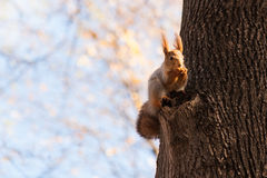 Small squirrel on a tree Stock Photos