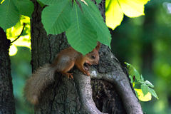 Small squirrel under leaf Royalty Free Stock Image