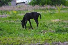 A small stallion eats grass stock photos