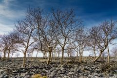 A small stand of Ash trees on Scout Scar. Royalty Free Stock Images