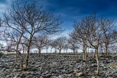 A small stand of Ash trees on Scout Scar. Royalty Free Stock Image