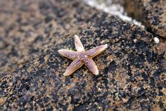 Small starfish Stock Photo