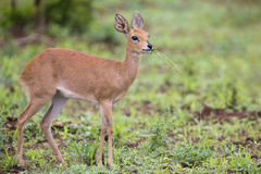Small Steenbok female walking carefully over open dry ground Stock Photos