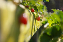 Small strawberry. Small strawberries are grown in a garden royalty free stock photos