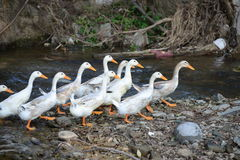 Small stream of ducks Royalty Free Stock Photography
