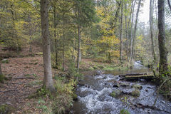 A small stream flows through the forrest. A small stream flows through the forrest, due to heavy rainfall. The forrest is beautiful coloured by autumn. In the royalty free stock photo