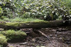 Fallen tree and small stream. A small stream with rocky bed flows out of a rugged a rugged hollow in West Virginia with a fallen moss covered tree laying across royalty free stock photo