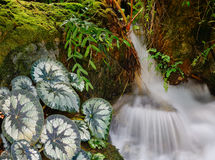 Small stream with taro plants at the Botanic Gardens in Singapore.  Royalty Free Stock Photography