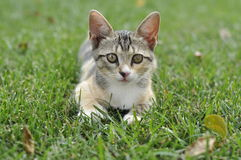 Small street kitten. Curious poses on a green lawn. Closeup Stock Photography