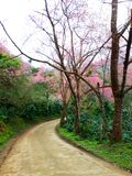 Small streets filled with Wild Himalayan Cherry. stock photo