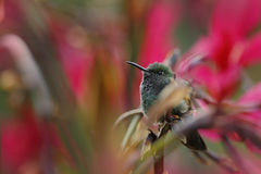 Small Stripe-tailed Hummingbird sitting on the flower with red background Stock Photography