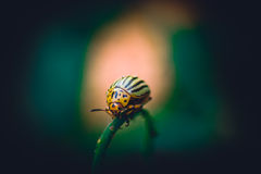 Small striped beetle Leptinotarsa decemlineata. Crawling on twig potatoes royalty free stock photos