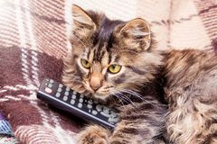 A small striped cat keeps on the paws of the console for the switch of television programs. The cat is watching the news on TV_ stock photo