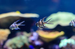 Small striped fish Stock Photos