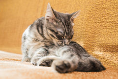 Small Striped Kitten Basking On The Couch At Home. Stock Photography