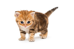 Small striped kitten breed British marble Stock Photos