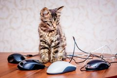 A small striped kitten near a computer mouses. Work in the office at the computer_. A small striped kitten near a computer mouses. Work in the office at the royalty free stock photos