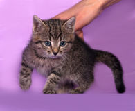 Small striped kitten sitting on lilac Stock Photography