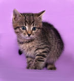 Small striped kitten sitting on lilac Royalty Free Stock Photography