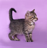 Small striped kitten standing and licked on lilac Royalty Free Stock Images
