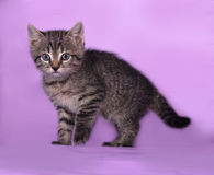 Small striped kitten standing on lilac Royalty Free Stock Image