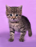 Small striped kitten standing on lilac Stock Images