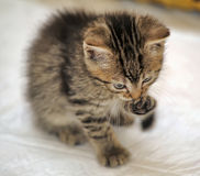 Small striped kitten washes the foot Stock Photo