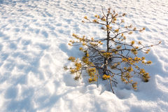 Small stunted pine tree growing on snow Royalty Free Stock Image