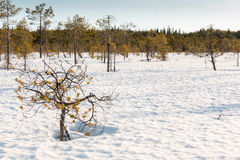 Small stunted pine trees growing on a snow covered Nordic bog. Stock Photo