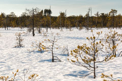 Small stunted pine trees growing on a snow covered Nordic bog. Stock Image