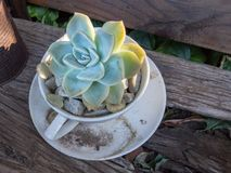 Free Small Succulent Plant In Teacup In Garden Close Up Royalty Free Stock Images - 121855769