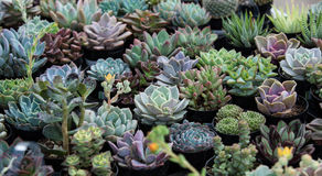 Small succulent plants in pots Royalty Free Stock Photo