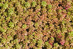 Small succulent red and green plants cover surface, background texture macro, selective focus, shallow DOF Royalty Free Stock Images