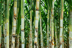 Small sugar cane. Sugar cane after plant for six month more Stock Image