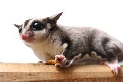 Small sugar glider Royalty Free Stock Photos