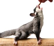 Small sugar glider. Petaurus breviceps, on white background royalty free stock images