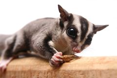 Small sugar glider. Petaurus breviceps, on white background royalty free stock photography