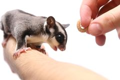Small sugar glider Stock Photography