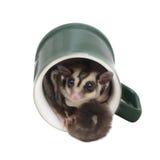 Small sugarglider sitting in green coffee mug. Royalty Free Stock Image