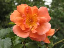 A small light orange rose. Small summer light orange rose flower in the green garden royalty free stock photo