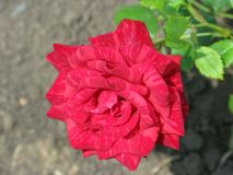 Summer Red Intuition rose flower. A small summer Red Intuition rose flower in the garden Royalty Free Stock Photos