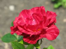 Summer Red Intuition rose flower. A small summer Red Intuition rose flower in the garden Stock Photo