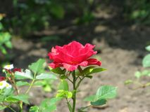 Summer Red Intuition rose flower. A small summer Red Intuition rose flower in the green  garden Stock Photography