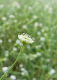 Small summer wild flower against green background Stock Photos