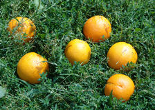The small sun. Oranges which have scattered on a grass stock images