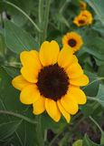 Small Sun Flower Yellow Color. Small Sun Flower Yellow Color in the garden Stock Photo