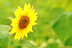 Small sunflower Stock Image