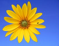 Small sunflower. Little sunflower on blue sky background,space for text stock photo
